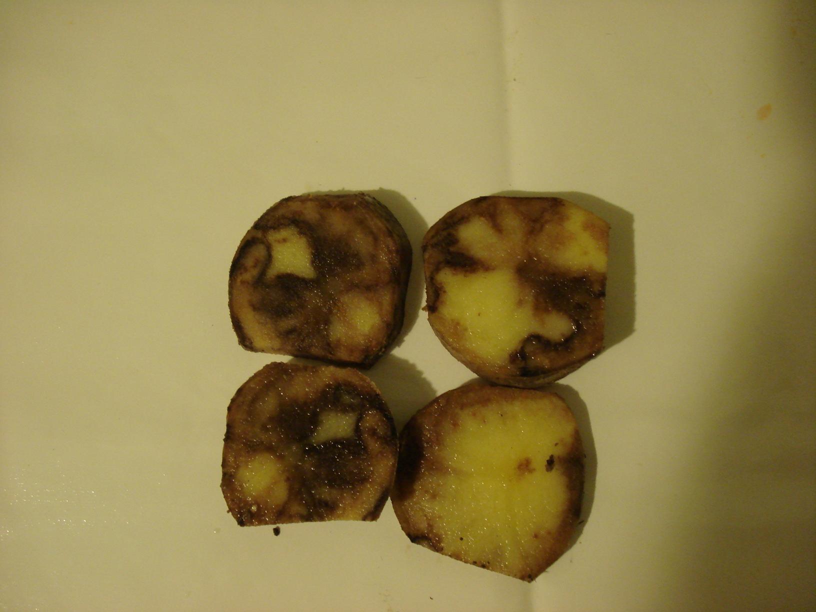 Fitoftórával fertőzött burgonyagumó